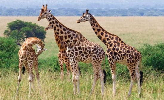 The Rothschild Giraffe