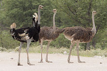 Facts About The Ostrich In Kidepo National Park