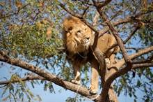 The Famous Tree Climbing Lions Of Queen Elizabeth National Park