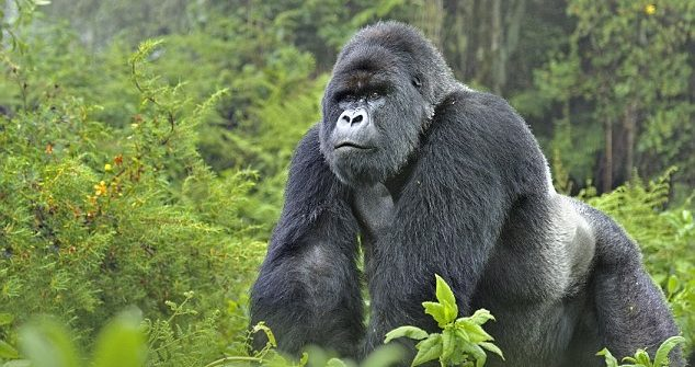 Increase in the Price of Gorilla Permits in Rwanda