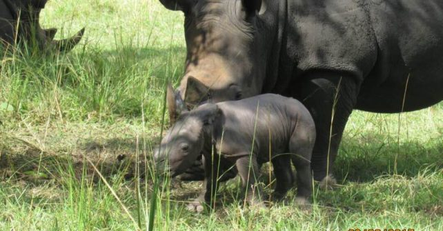 Another Rhino Baby Born at The Ziwa Rhino Sanctuary