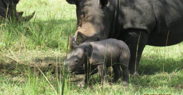 Another Rhino Baby Born at The Ziwa Rhino Sanctuary