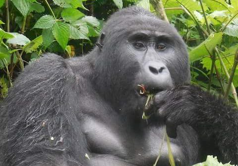 Kanyonyi – Leader of the oldest gorilla group dead