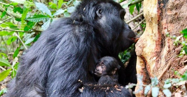 Mishaya Gorilla Baby
