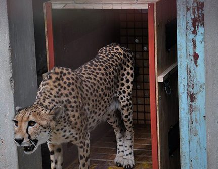 Uganda Wildlife Education Center (UWEC) Welcomes 3-year-old Female Cheetah