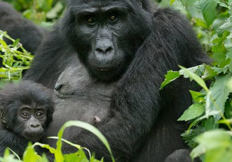 Gorilla Census 2018 in Uganda