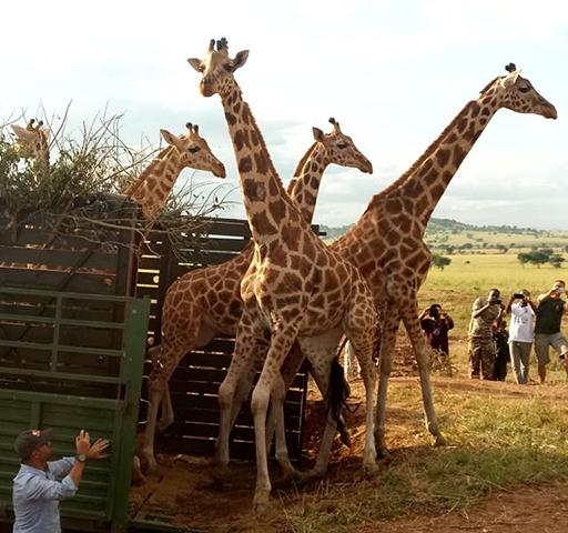 Giraffe Translocation