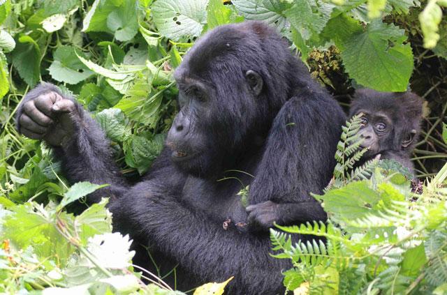 Change in daily Gorilla Permits Quantity