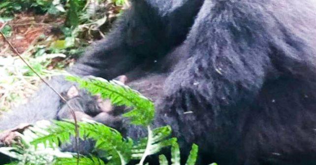 BABY GORILLA BOOM! Second baby Gorilla in 2 weeks!
