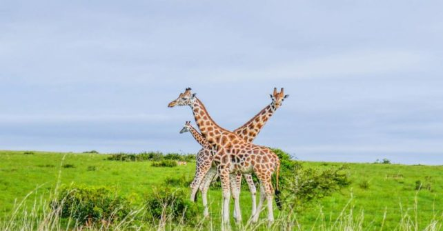 UWA to translocate 15 giraffes from Murchison Falls to Pian Upe