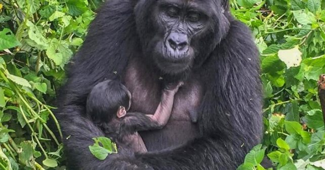 3rd Baby Gorilla in a row