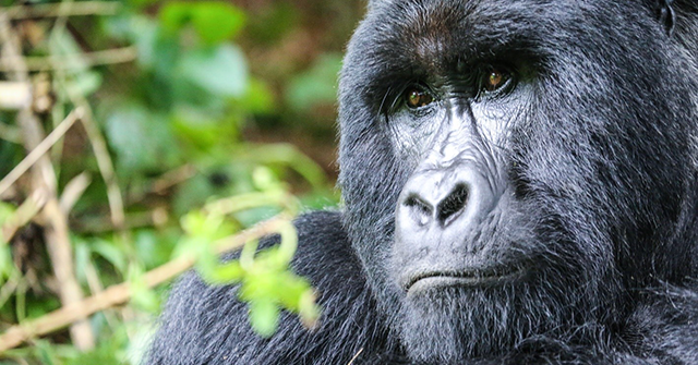 Uganda Releases 2018 Mountain Gorilla Census Results