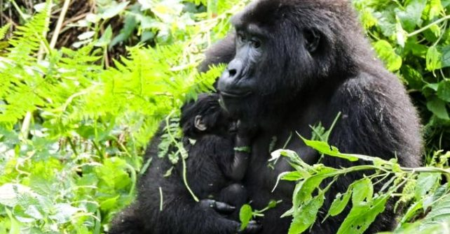 New Baby Gorillas Born During a Lockdown