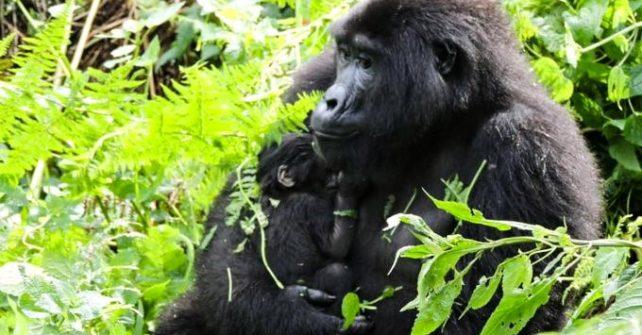 New Baby Gorillas Born During a Lockdown