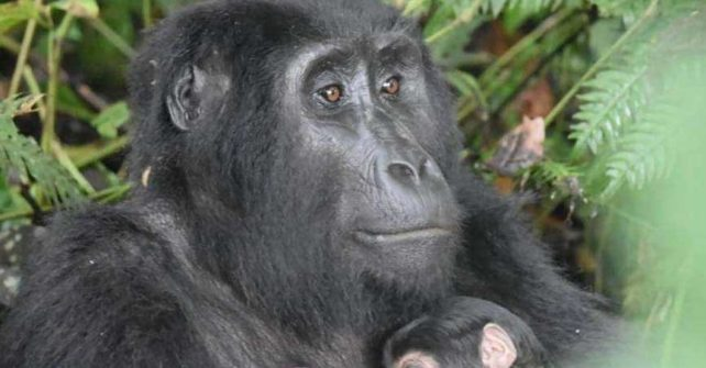 Baby gorilla boom continues in Uganda's gorilla parks – fifth new baby in just six weeks
